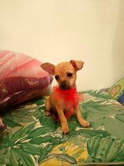 4 zuckersüsse Chihuahua Welpen suchen