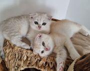 Britisch Kurzhaar Skottisch fold Kitten