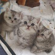 BKH Kitten Reinrassig mit Stammbaum