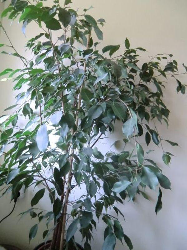 Birkenfeige ca 160 cm groß