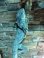 Kragenechsen Chlamydosaurus kingii Jungtiere Adult