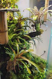 Suche Phelsuma quadriocellata oder Goldstaub-Taggecko