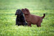 Hübsche Labradorwelpen in braun und