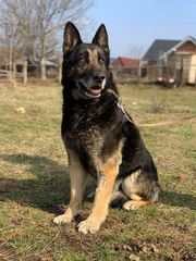 Boica Rüde aus dem Tierschutz