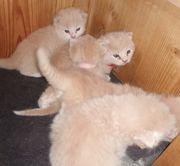 Munchkin Kitten reservieren