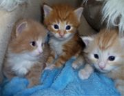 Maine Coon Kitten red silver
