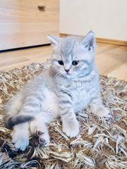 Kitten - Britisch Kurzhaar geimpft entwurmt