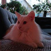 2 weiße Norwegische Waldkatzen -kater