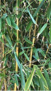 schöner dichter Bambus