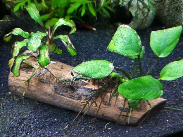 Bepflanzte Aquarium Wurzel und andere