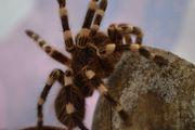 Vogelspinnen Acanthoscurria geniculata Brachypelma emilia