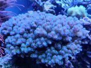 poccillopora tricolor Sps Meerwasser Korallen