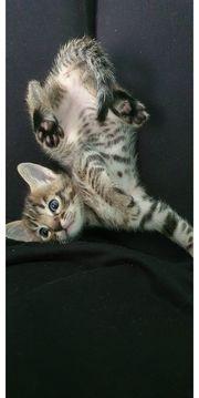 Ein Bengal Kätzchen sucht noch