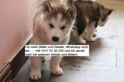 Entzückende Siberian Husky Welpen zu