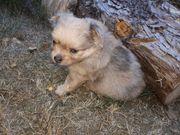 Pomchi Pomeranian