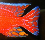Aulonocara-Firefish-original-seifert- genetisch rot