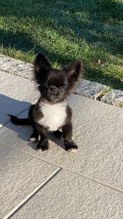 Chihuahua Langhaar