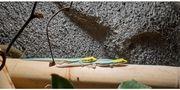 Phelsuma Klemmeri Blauer Bambustaggecko