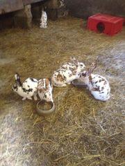 Rexkaninchen Königsmantelschecken Dalmatinerschecken