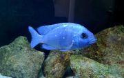 Malawi Placidochromis ph Lupingu