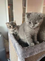 2 süße BKH mix kitten