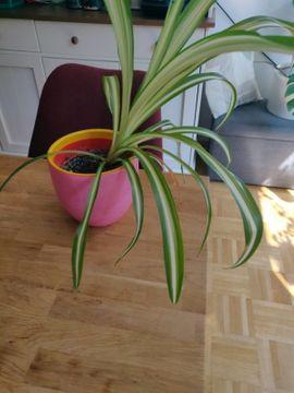 Pflanzen - Grünlilie - pflegeleicht