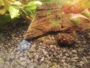 Zwerggarnele Neocaridina davivi - Wildform