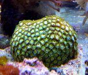 Meerwasser Krustenanemonen Zoanthus sp komplett