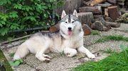 Deckrüde - Siberian Husky
