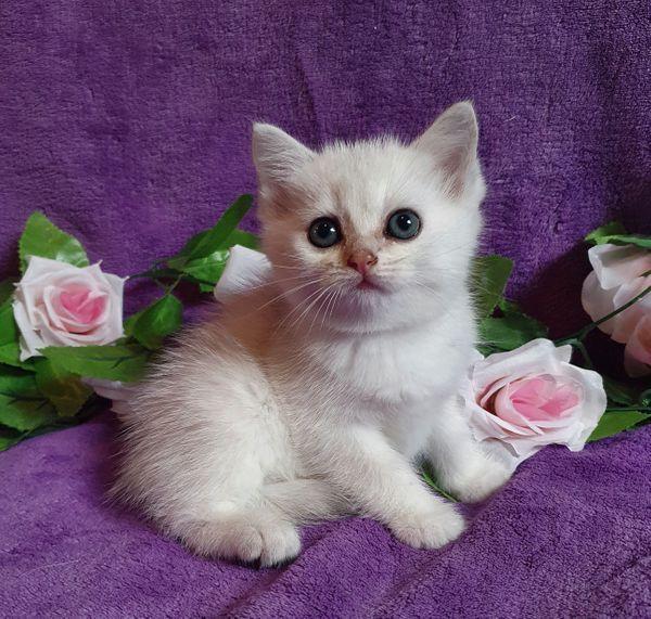 BKH Katzenbabys Kitten