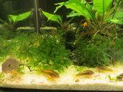 Wels Panzerwelse Aquarium Fische