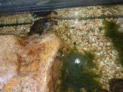 Verkaufe 3 sehr schöne Sumpfschildkröten
