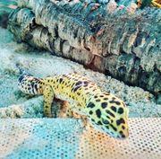 Schöne Leopardgeckos mit Zubehör