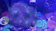 Pilzlederkoralle neongrün XL