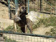 Welpen Presa Canario kanarische Dogge