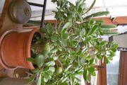 Geldbaum Pfennigbaum