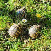 Schöne agile Griechische Landschildkröten aus