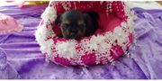 Yorkshire Terrier Welpe XXS black