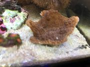 Korallen Montipora