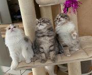 Highland Straight und Fold Kitten
