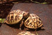 4 Jahre alte griechische Landschildkröten