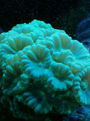 Korallenableger günstig abzugeben oder im