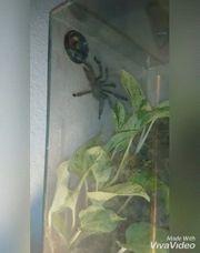 Terrarium Spinne zu verkaufen