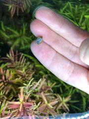 Quellblasenschnecke - Physa fontinalis 10 Stück
