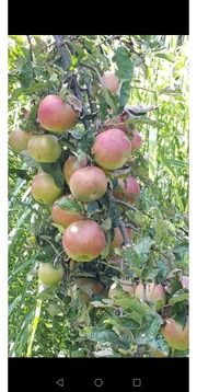 Suche ein Obstbäumchen