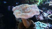 Leder Pilz Koralle
