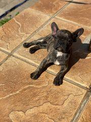 Französische Bulldogge bully frenchi brindle