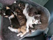 Ragdoll-Mix Kitten