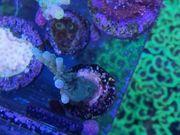 Meerwasser Acropora Formosa SPS LPS