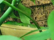 Exo TerraTerrarium mit Phelsuma Grandis